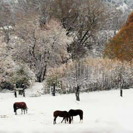 Tammy Gatten: 'First Snow', 2007 Color Photograph, Landscape. Artist Description:  The first snow on orange trees in the mountains of New Mexico, with grazing horses. ...