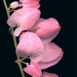 Carole Atkinson: 'Coral Vine', 2001 Color Photograph, Floral. Artist Description: Tiny Coral Vine up close...