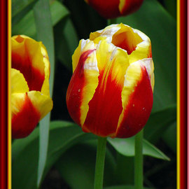 Berit Nelson: 'Elite', 2006 Color Photograph, Floral. Artist Description: This was taken at the 2006 Tulip Festival in Skagit Valley, Washington....