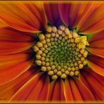 Mexican Sunflower By Berit Nelson