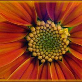 Berit Nelson Artwork Mexican Sunflower, 2006 Color Photograph, Floral