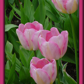 Berit Nelson: 'New Design', 2006 Color Photograph, Floral. Artist Description: This was taken at the 2006 Tulip Festival in Skagit Valley, Washington. ...