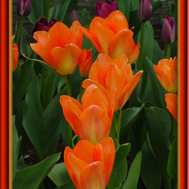Berit Nelson: 'Orange Emperor', 2006 Color Photograph, Floral. Artist Description: This was taken at the 2006 Tulip Festival in Skagit Valley, Washington. ...