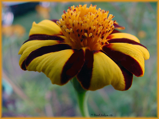 Berit Nelson  'Pinwheel Marigold', created in 2006, Original Photography Other.