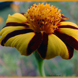 Berit Nelson: 'Pinwheel Marigold', 2006 Color Photograph, Floral.