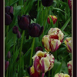 Berit Nelson: 'Queen of the Night and Rems Sensation', 2006 Color Photograph, Floral. Artist Description: This was taken at the 2006 Tulip Festival in Skagit Valley, Washington....