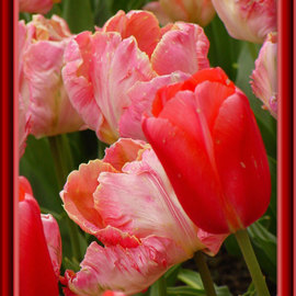 Berit Nelson: 'Rai and Red Impression', 2006 Color Photograph, Floral. Artist Description: This was taken at the Tulip Festival in Skagit Valley Washington, 2006....