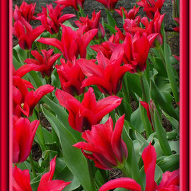 Berit Nelson: 'Scarlet Pimpernel', 2006 Color Photograph, Floral. Artist Description: This was taken at the 2006 Tulip Festival in Skagit Valley, Washington. ...