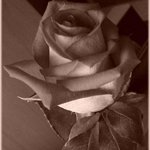 Sepia Rose By Berit Nelson