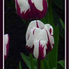 Berit Nelson: 'Zurel', 2006 Color Photograph, Floral. Artist Description: This was taken at the 2006 Tulip Festival in Skagit Valley, Washington....