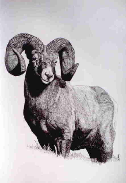 Roberta Ekman Big Horn Mountain Sheep 1999 Pencil Drawing