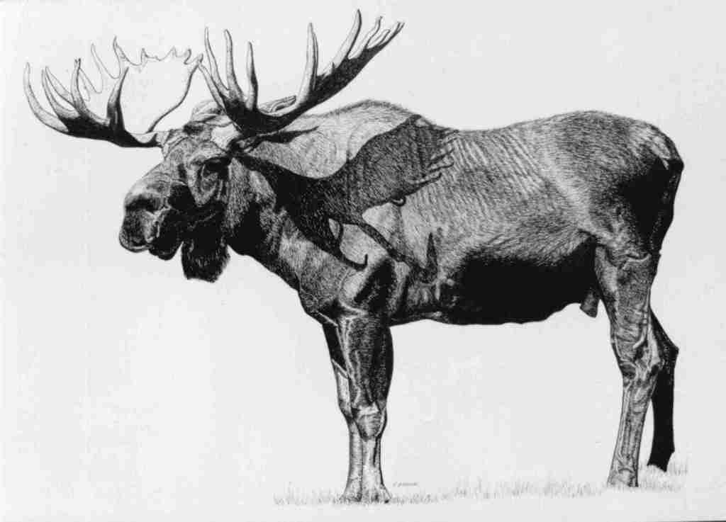 Roberta Ekman Artwork Moose Original Drawing Pen