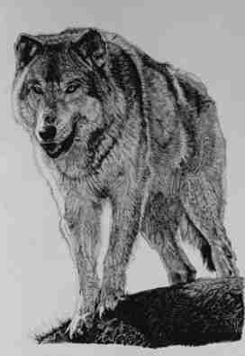 Roberta Ekman Artwork 'Timber Wolf', 2000. Pen Drawing. Animals. Artist Description: signed limited edition print of Timber Wolf. ......