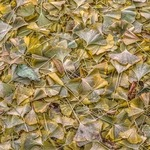 ginkgo leaves By Bruce Lewis