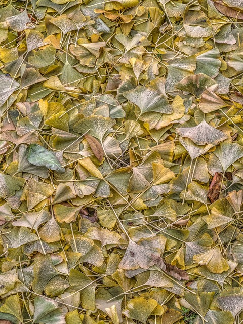Bruce Lewis  'Ginkgo Leaves', created in 2018, Original Photography Color.