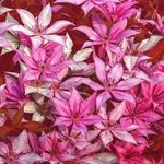 The Clematis Pattern In Pink, Bruce Lewis