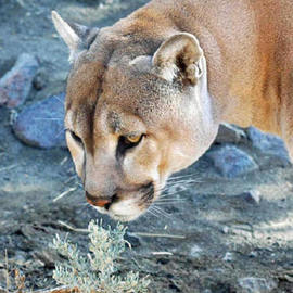 Bonnie Rannald: 'Cougar and Sage', 2006 Color Photograph, Wildlife. Artist Description:  Cougar sniffing sage plant in Northern Nevada Animal Rescue/ Sancuary. ...