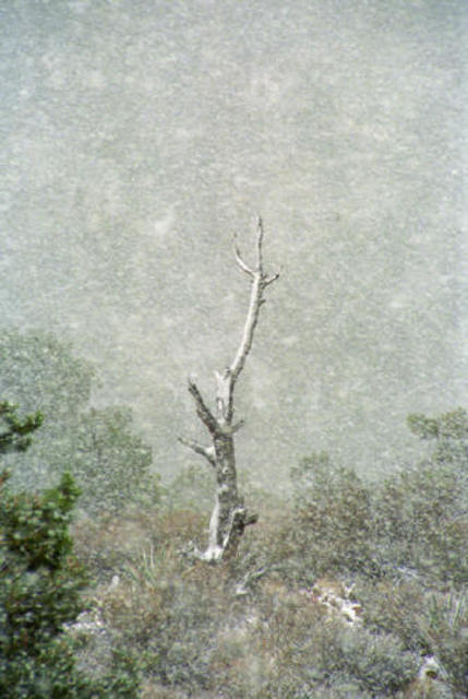 Bonnie Rannald  'Snow Tree At La Madre Spring', created in 1993, Original Photography Color.