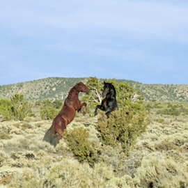 Bonnie Rannald: 'The Challenge', 2009 Color Photograph, Equine. Artist Description:  Two wild stallions rear up in the desert at Cold Creek, Nevada. ...