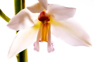 Bruce Panock Artwork White Orchid 1, 2010 Color Photograph, Botanical