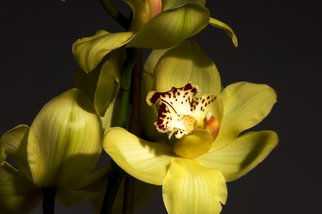 Bruce Panock: 'Yellow Orchis 1', 2009 Color Photograph, Floral. Artist Description:  A still life image.Images are pritned on archival papers with archival inks.Different sizes are available upon request.       ...