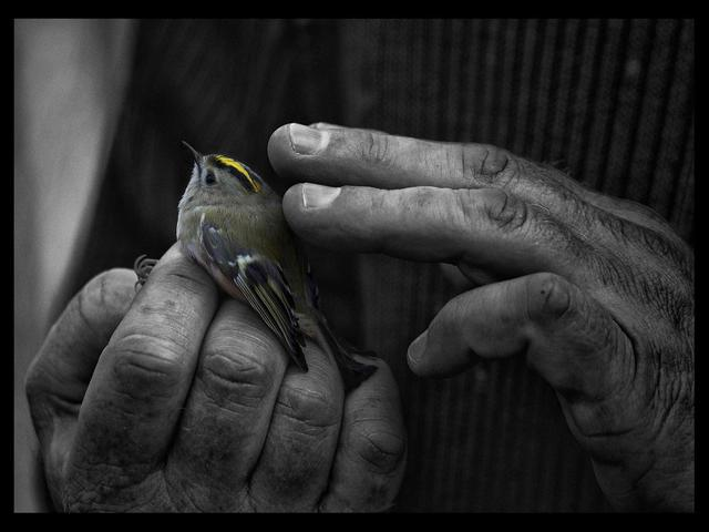 Carol Tipping  'The Goldcrest', created in 2012, Original Photography Black and White.