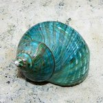 Aqua Turbo Seashell, Carolyn Bistline