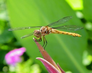 Color Photograph by Carolyn Bistline titled: DRAGONFLY, created in 2009
