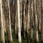 Tall Trees By Celeste Mccullough