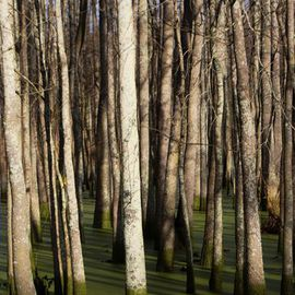 Celeste Mccullough: 'Tall Trees', 2014 Color Photograph, Landscape. Artist Description:   Tall white trees in a green swamp.      ...