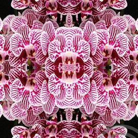 Zebra Orchid