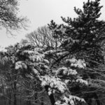 Prospect Park Single Pine By Martin A Ettlinger