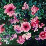 Petunia Sweet Petunia By Caren Keyser