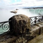 A Great White Birds View of the Mighty Niagara By Clinton Lown