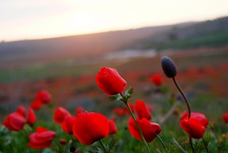 Color Photograph by Dafna Rosenkrantz Shany titled: Red flowers in sunset, 2008