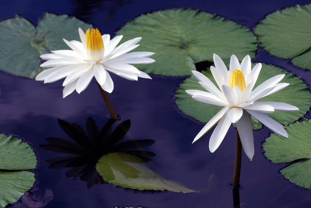 Daniel B. Mcneill  'Water Lilies', created in 2011, Original Photography Color.