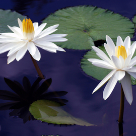 Daniel B. Mcneill: 'Water Lilies', 2011 Color Photograph, Landscape. Artist Description:   Flowers, Water, Garden, Spring, Summer, Travel, Vacation, Brookside Gardens, Landscape, Seascape, City, Museum, Museums, Gallery, Art Gallery, Artist, Daniel B. McNeill, Art Collections, Park, New York, Photography, Anniversary, Party, Celebration, Good Time, You Tube, Yahoo, My Space, Bridge, Exhibition, Exhibit, Show, Washington, DC, New York City, Manhattan, Jamaica, ...