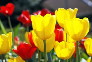 Artist: Daniel B. Mcneill - Title: Yellow Tulips - Medium: Color Photograph - Year: 2011