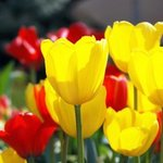 Yellow Tulips By Daniel B. Mcneill
