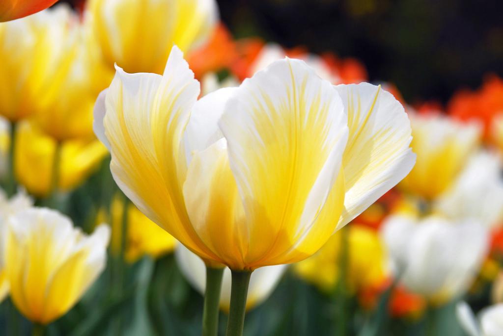 Daniel B Mcneill Artwork Yellow And White Tulips