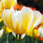 Yellow and White Tulips By Daniel B. Mcneill
