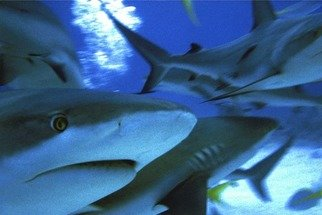 Artist: Daniel Rabinovich - Title: Reef Sharks - Medium: Color Photograph - Year: 2004