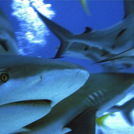 Daniel Rabinovich: 'Reef Sharks', 2004 Color Photograph, Wildlife. Artist Description:  Reef Sharks, Exuma, Bahamas, sea, ocean, tropical, islands, Caribbean, fish, underwater, ...