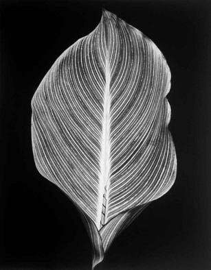 David Hum: 'canna leaf', 2000 Silver Gelatin Photograph, Still Life. Artist Description: series of floral stills...