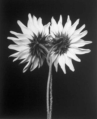 David Hum: 'sunflower twist', 2000 Silver Gelatin Photograph, Still Life. Artist Description: series of floral stills...