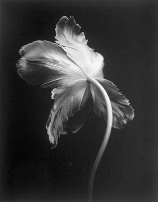 David Hum: 'tulip 1', 2000 Silver Gelatin Photograph, Still Life. Artist Description: series of floral stills...