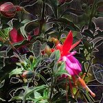 Fuschia e series By Debra Cortese