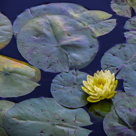 lovely lotus By Dennis Gorzelsky