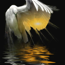 Dennis Handa: 'Egret Reflections', 2007 Color Photograph, Wildlife. Artist Description:  Great Egret stretching during Breeding season ...