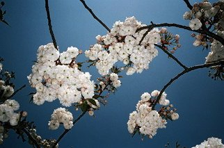 Petri De Pit�: 'Cherry Blossom', 2008 Color Photograph, nature.  a chinese cherry blossow ...